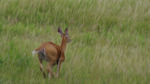 white tail deer leaps in field - fear stock videos & royalty-free footage