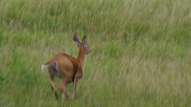 White tail deer leaps in field