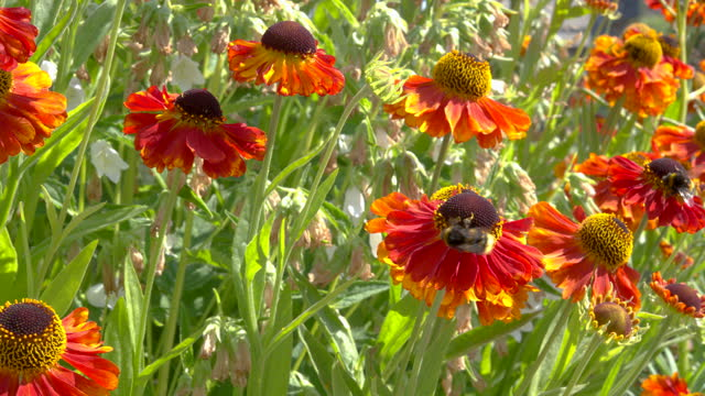 white tailed bumblebee on a bright orange flower - johnfscott stock videos & royalty-free footage