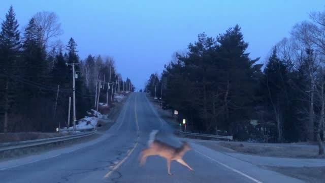 vídeos y material grabado en eventos de stock de white tailed deer crossing road in rangeley, maine usa during springtime - accidente de tráfico