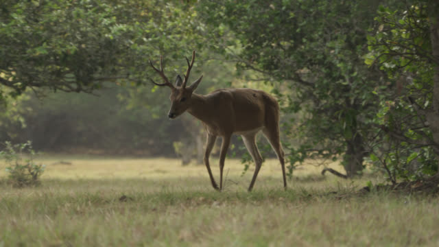 white tailed deer (odocoileus virginianus) emerges from trees. - white tailed deer stock videos & royalty-free footage
