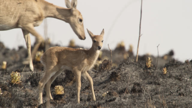 stockvideo's en b-roll-footage met white tailed deer (odocoileus virginianus) fawn and mother walks across burnt ground. - reekalf