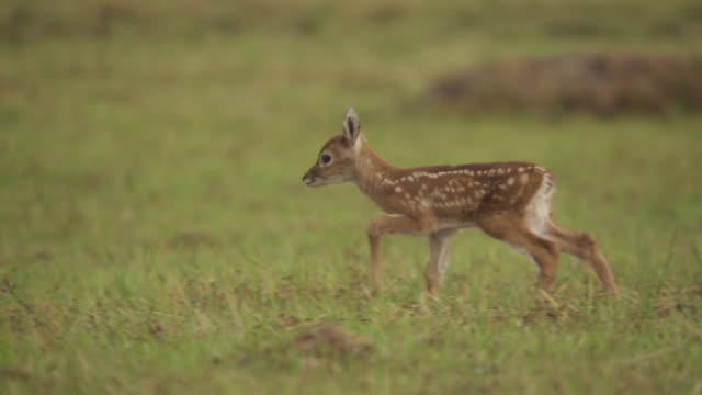 white tailed deer fawn (odocoileus virginianus) hurries over to mother where it tries to suckle. - young animal video stock e b–roll