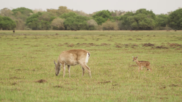 vídeos y material grabado en eventos de stock de white tailed deer fawn (odocoileus virginianus) hurries over to mother where it tries to suckle. mother almost tramples it as she walks away. - cervato