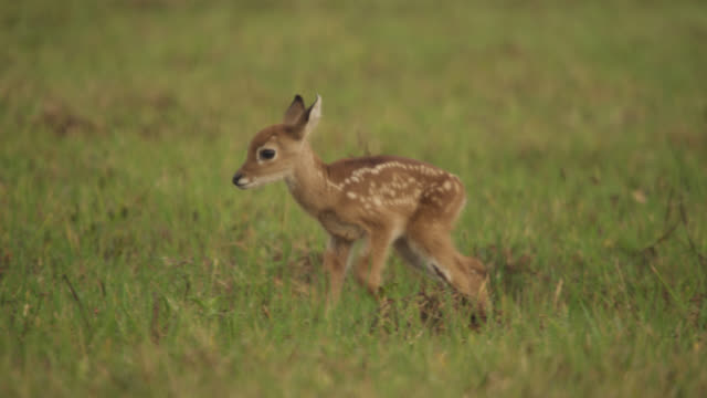 stockvideo's en b-roll-footage met white tailed deer fawn (odocoileus virginianus) walks through grass then settles down to hide. - reekalf