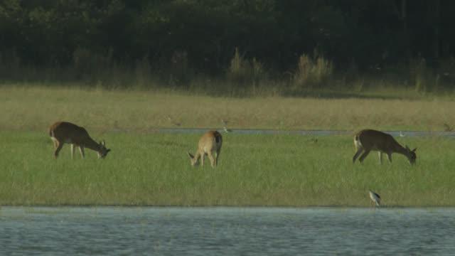 White tailed deer (Odocoileus virginianus) feed near water.