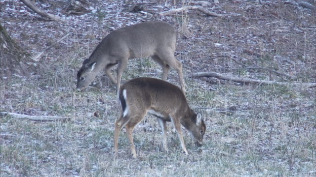 white tailed deer graze in a grassy clearing. - white tailed deer stock videos & royalty-free footage