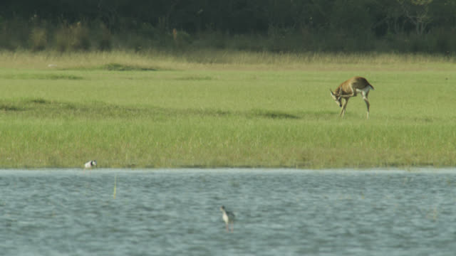 White tailed deer (Odocoileus virginianus) scratches head with hind foot whilst stood near water.