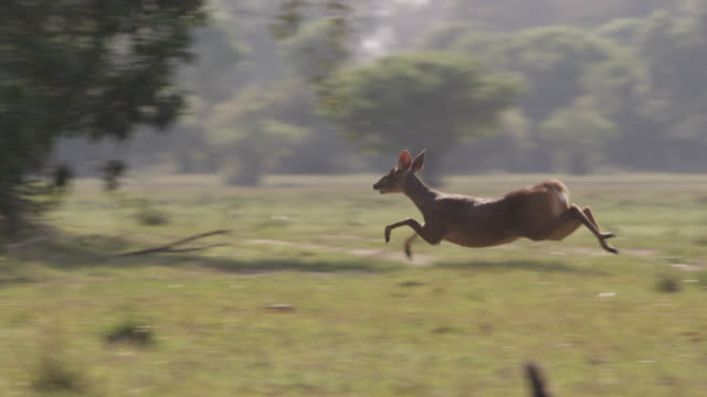 white tailed deer (odocoileus virginianus) turns and bounds away. - white tailed deer stock videos & royalty-free footage