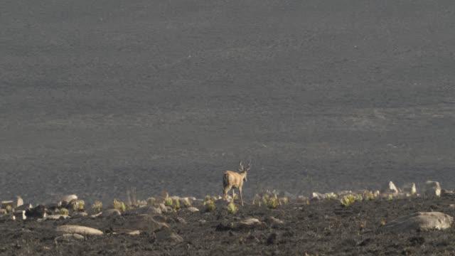 white tailed deer (odocoileus virginianus) walks across burnt ground. - cerrado stock videos & royalty-free footage