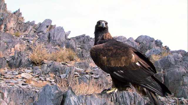 vidéos et rushes de white tailed eagles sitting on the boulder and looking around - aigle
