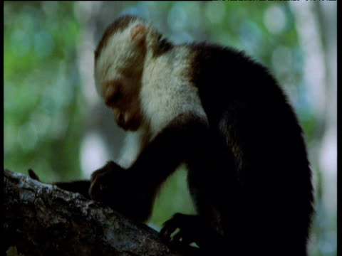 White throated capuchin monkey attempts to smash open clam on branch, Trinidad