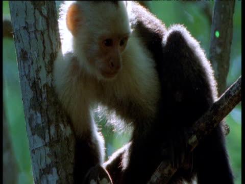 White throated capuchin monkey clambers up tree, Trinidad