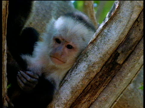 White throated capuchin monkey sticks out tongue