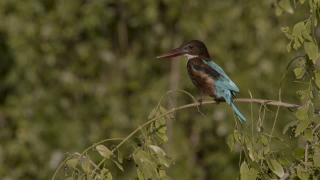 white throated kingfisher on branch, sri lanka. - perching stock videos & royalty-free footage