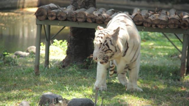 white tiger eating meat at surabaya zoo indonesia - surabaya stock videos & royalty-free footage