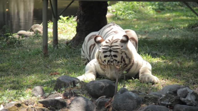 white tiger eating meat at surabaya zoo indonesia - indonesia stock videos & royalty-free footage