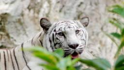 White tiger looking at camera