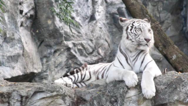 white tiger sleep on stone - mammal stock videos & royalty-free footage