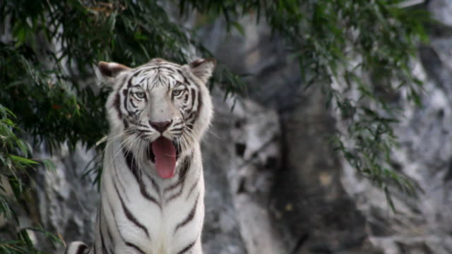white tiger snarl - tiger stock videos & royalty-free footage