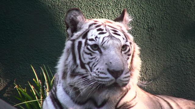 white tiger - animal head stock videos & royalty-free footage
