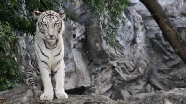 white tiger - safari animals stock videos & royalty-free footage