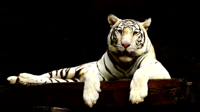 white tiger - tiger stock videos and b-roll footage