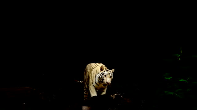 white tiger - tiger stock videos & royalty-free footage