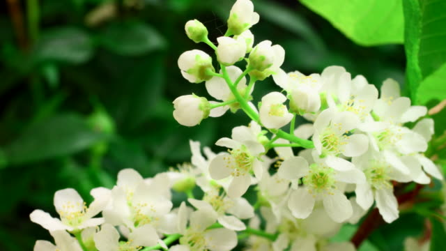 white tiny flowers blooming 4k - great white cherry stock videos & royalty-free footage