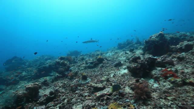 ms ts white tip reef shark swimming over reef / sipadan, semporna, tawau, malaysia - oceanic white tip shark stock videos & royalty-free footage