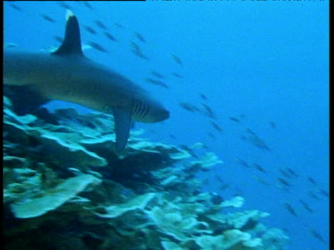 white tip reef shark swims over coral reef through blue water, small fish swim in the background. - ネムリフカ点の映像素材/bロール