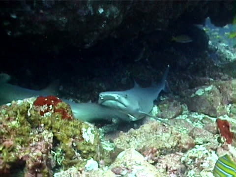 White tip reef sharks and tropical fish