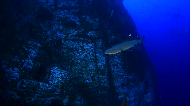 white tip reef sharks underwater in socorro, mexico - baja california peninsula stock videos & royalty-free footage