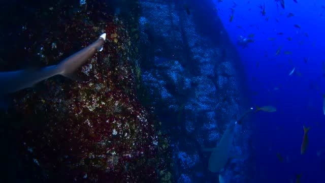white tip reef sharks underwater in socorro, mexico - whitetip reef shark stock videos & royalty-free footage
