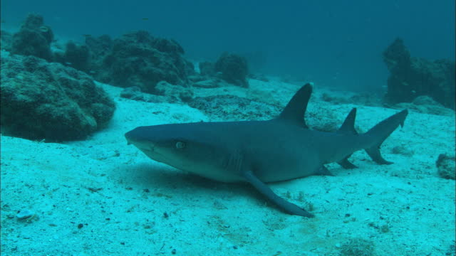 white tip shark, costa rica, pacific ocean  - whitetip reef shark stock videos and b-roll footage