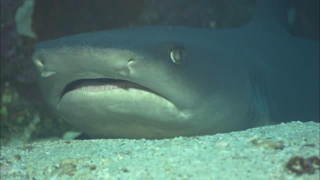 stockvideo's en b-roll-footage met white tip shark, costa rica, pacific ocean  - animal mouth