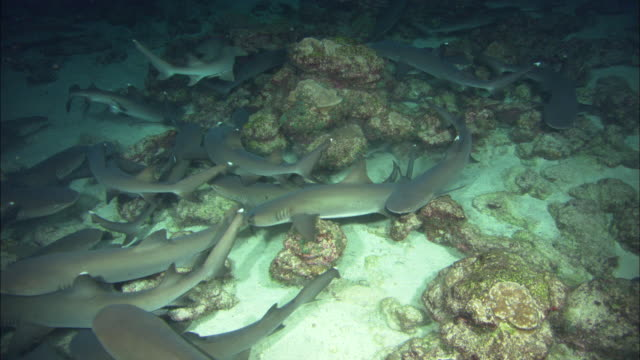 white tip sharks night, costa rica, pacific ocean  - whitetip reef shark stock videos & royalty-free footage