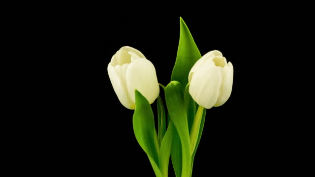 white tulip time lapse (4k resolution) - tulip stock videos and b-roll footage