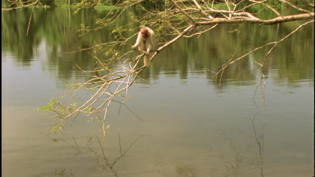 white uakari bounces on tree branches over water available in hd. - balance stock videos & royalty-free footage