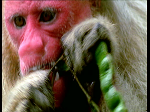 White Uakari monkey with red face eats fruits in flooded forest