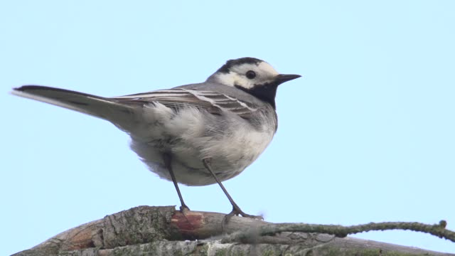 white wagtail (motacilla alba) surveys surroundings - songbird stock videos & royalty-free footage