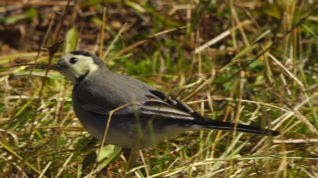 white wagtail (motacilla alba) - songbird stock videos & royalty-free footage