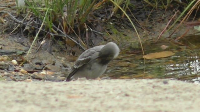 white wagtail (motacilla alba) - tail wing stock videos and b-roll footage