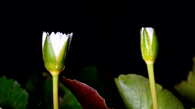vídeos de stock e filmes b-roll de white water lily with green leaves in the pond,timelapse. - lírio