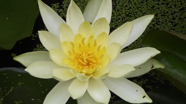 white waterlily in a pond - stamen stock videos & royalty-free footage