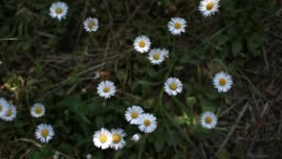 White wildflowers. Chamomile spring.