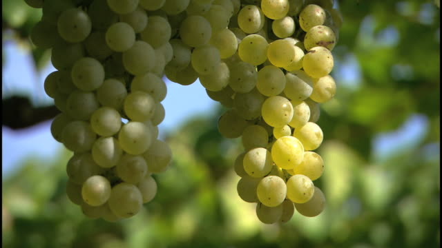 white wine grapes, beautiful nature - bicchiere da vino video stock e b–roll