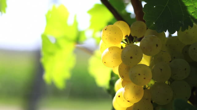 white wine grapes close up (loopable) - frische stock videos & royalty-free footage