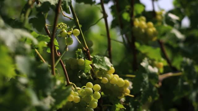 HD (Crane:) White Wine Grapes in Autumn