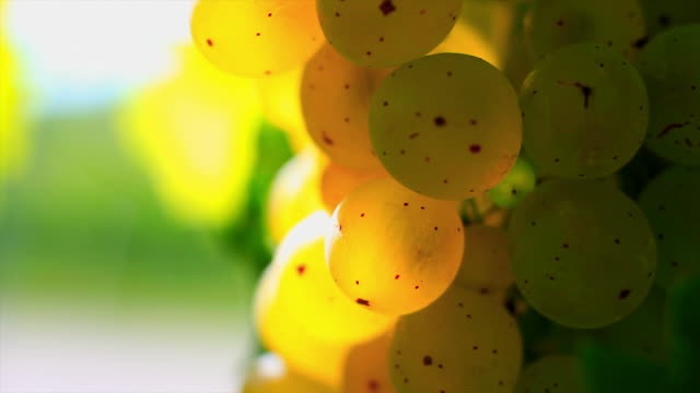 hd white wine grapes macro (loopable) - herbst stock videos & royalty-free footage